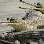 chitwan-crocodile-nepal-voyage-circuit
