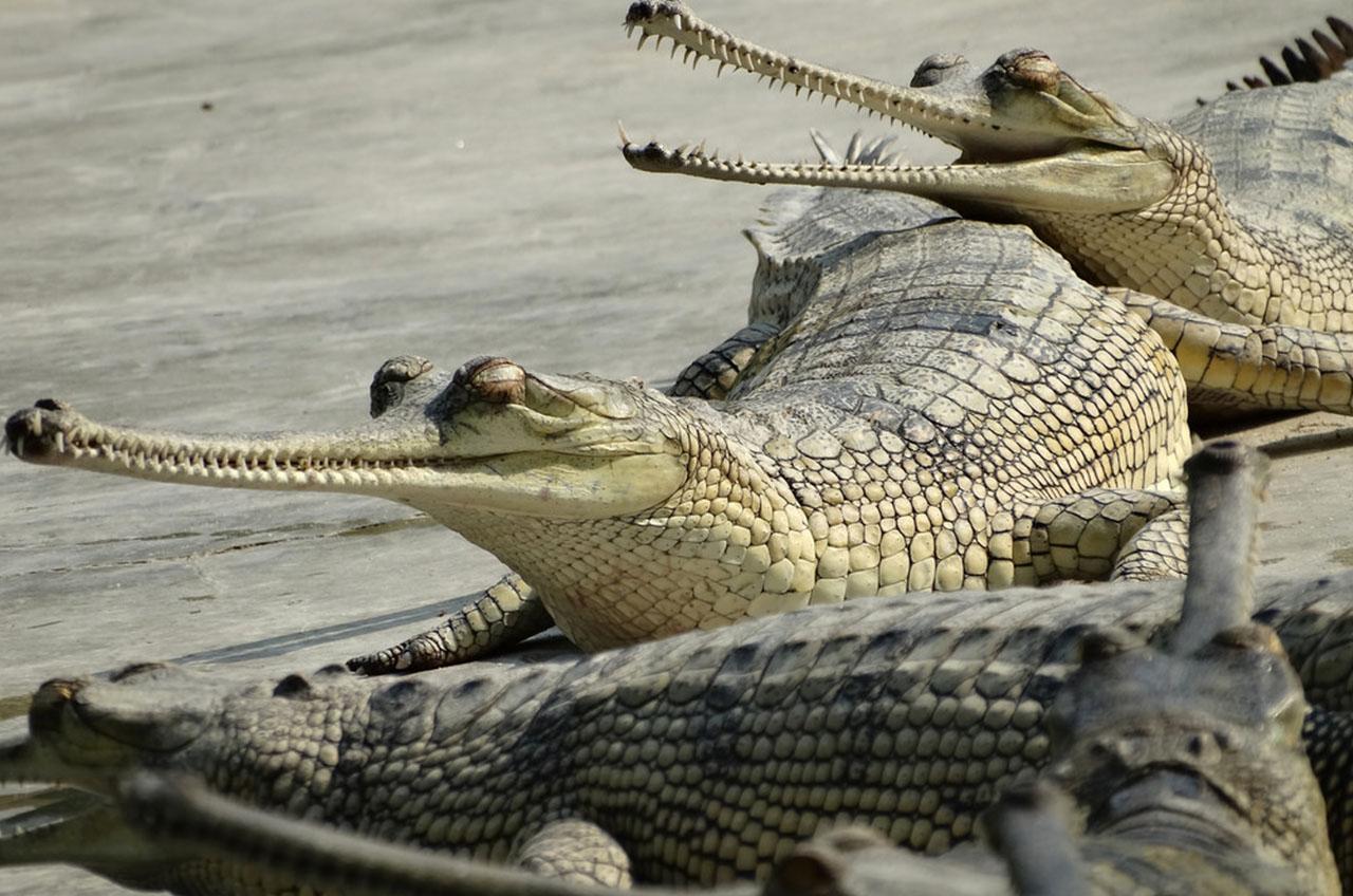 Crocodiles - Circuit Chitwan - Népal