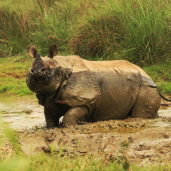 Rhinocéros - parc national Chitwan - Népal