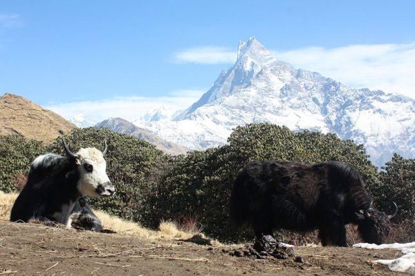 Yak - Trek de Mardi Himal