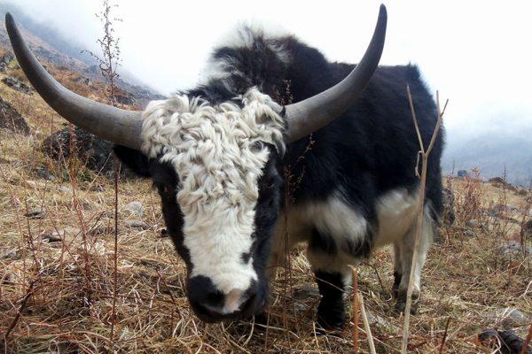 langtang yak népal